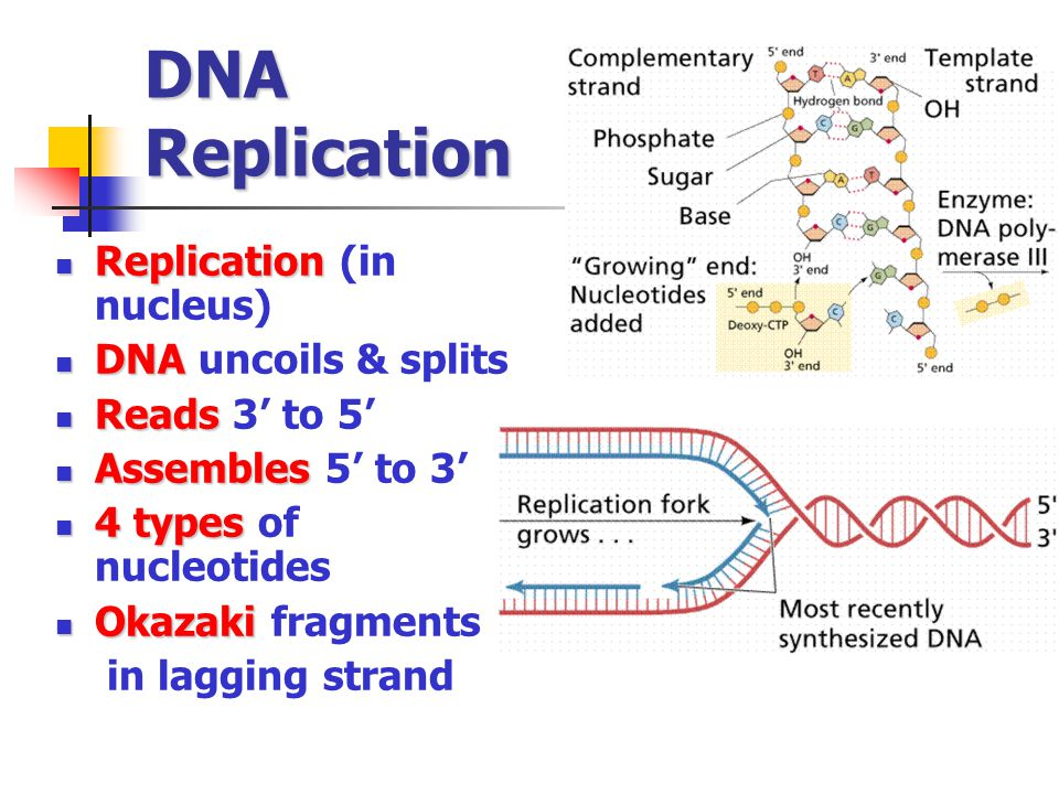 DNA Replication Replication Replication (in nucleus) DNA DNA uncoils & splits Reads Reads 3' to 5' Assembles Assembles 5' to 3' 4 types 4 types of nuc