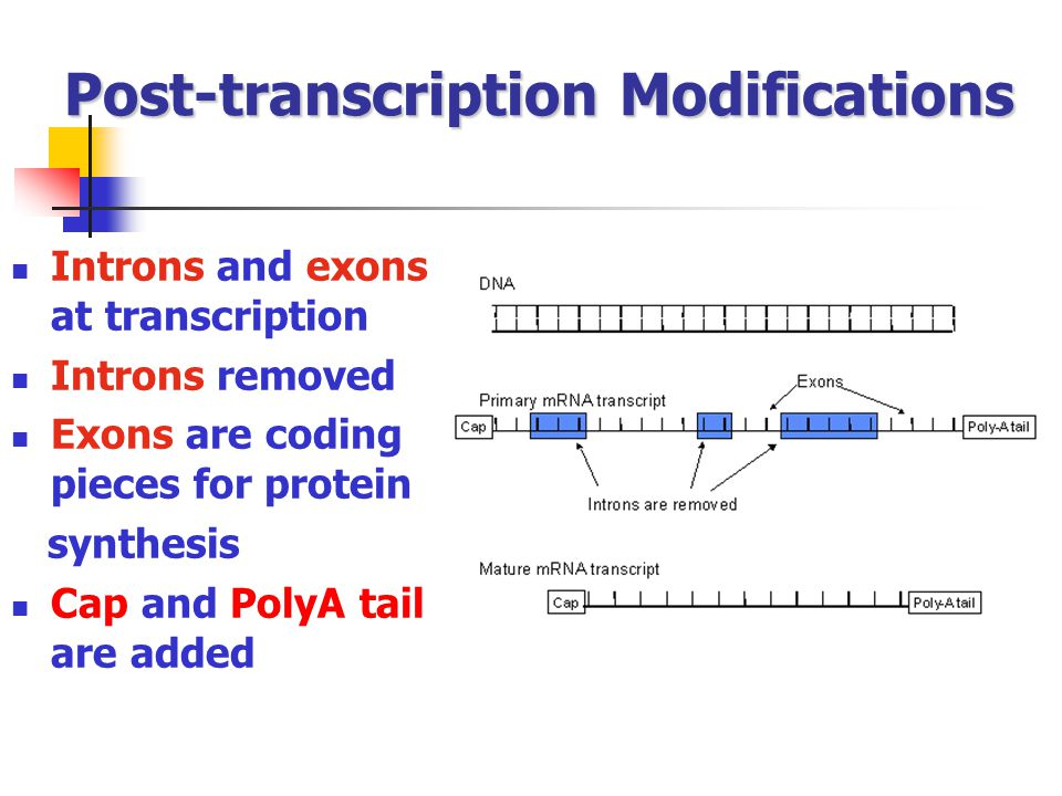 Post-transcription Modifications Introns and exons at transcription Introns removed Exons are coding pieces for protein synthesis Cap and PolyA tail a