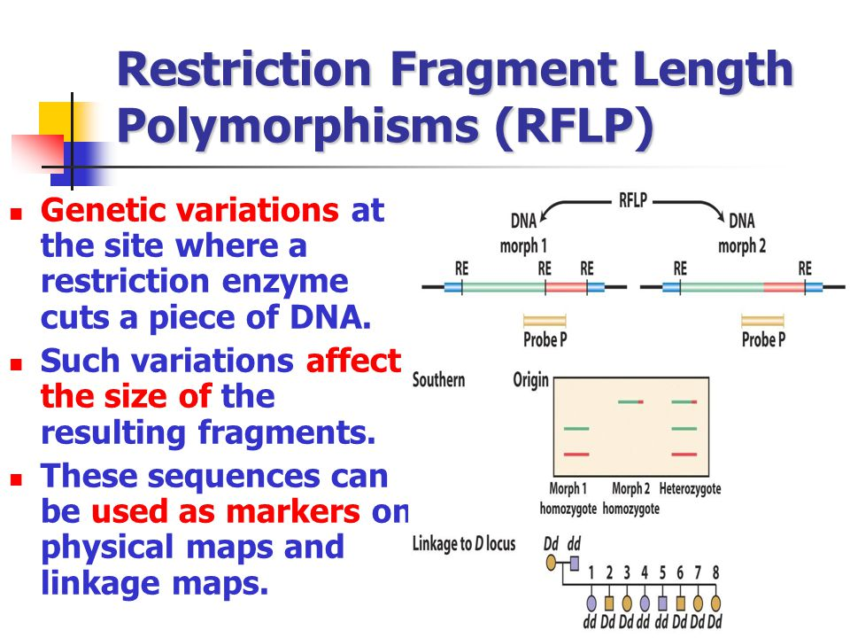 Restriction Fragment Length Polymorphisms (RFLP) Genetic variations at the site where a restriction enzyme cuts a piece of DNA. Such variations affect