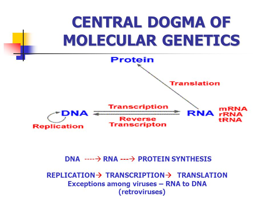 CENTRAL DOGMA OF MOLECULAR GENETICS DNA ----  RNA ---  PROTEIN SYNTHESIS REPLICATION  TRANSCRIPTION  TRANSLATION Exceptions among viruses – RNA to
