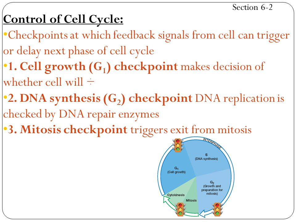 Section 6-2 Control of Cell Cycle: Checkpoints at which feedback signals from cell can trigger or delay next phase of cell cycle 1. Cell growth (G 1 )