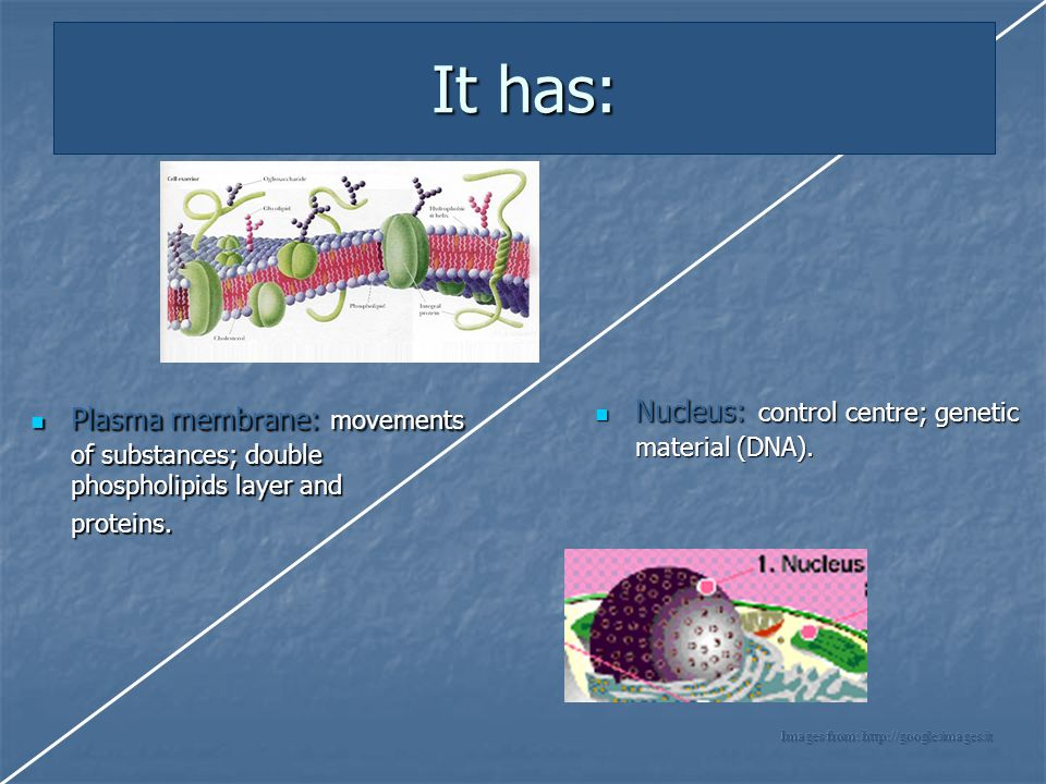 It has: Nucleus: control centre; genetic material (DNA).