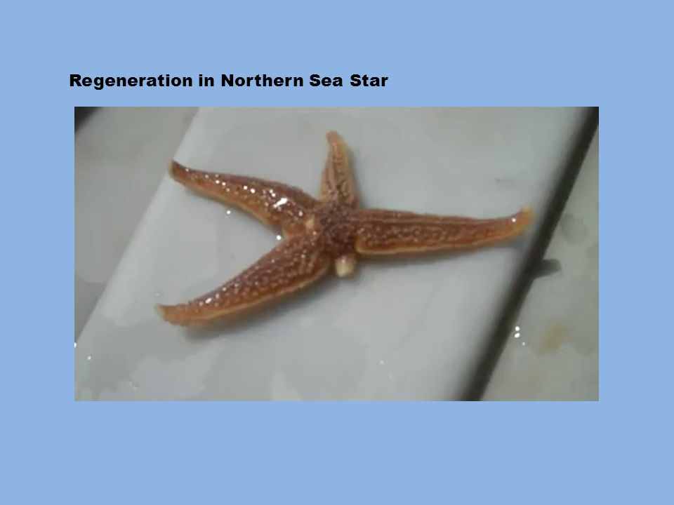 Regeneration in Northern Sea Star