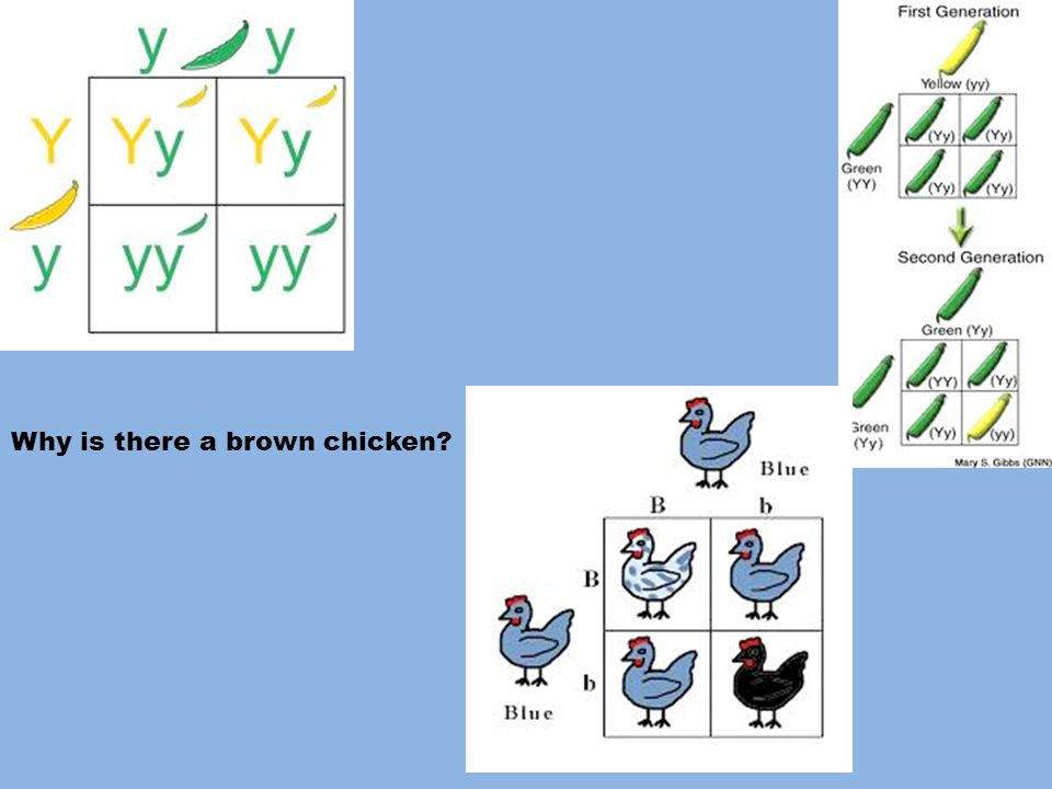 Why is there a brown chicken?