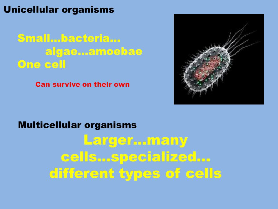 Unicellular organisms Multicellular organisms Can survive on their own Small…bacteria… algae…amoebae One cell Larger…many cells…specialized… different types of cells
