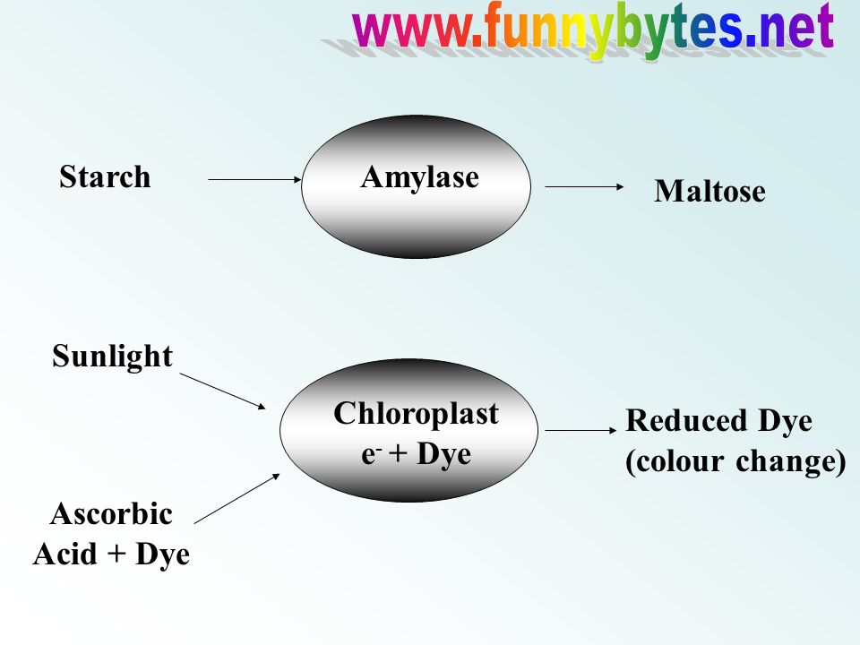 Amylase Sunlight Ascorbic Acid + Dye Chloroplast e - + Dye Reduced Dye (colour change) AmylaseStarch Maltose