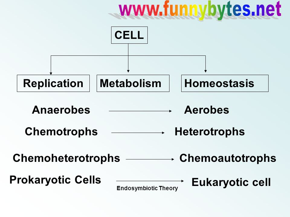 CELL ReplicationMetabolismHomeostasis AnaerobesAerobes ChemotrophsHeterotrophs ChemoheterotrophsChemoautotrophs Prokaryotic Cells Eukaryotic cell Endosymbiotic Theory