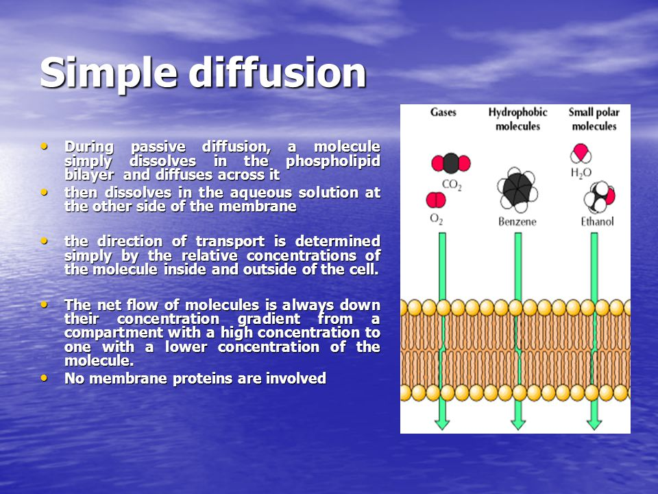 Gases, hydrophobic molecules, and small polar uncharged molecules can diffuse through phospholipid bilayers.