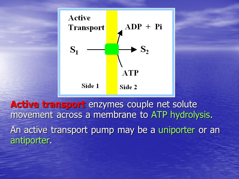 Example of an antiport carrier: Adenine nucleotide translocase (ADP/ATP exchanger) catalyzes 1:1 exchange of ADP for ATP across the inner mitochondrial membrane.