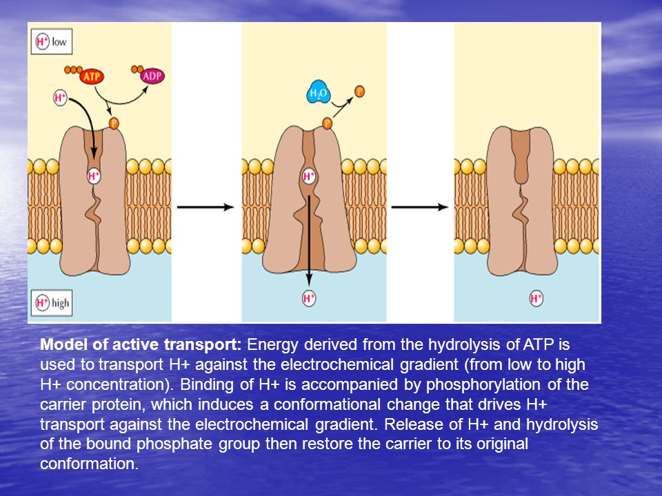 Active transport enzymes couple net solute movement across a membrane to ATP hydrolysis.
