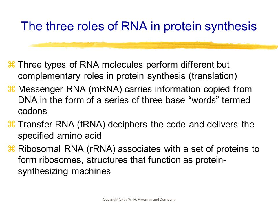 Copyright (c) by W. H. Freeman and Company The three roles of RNA in protein synthesis  Three types of RNA molecules perform different but complement