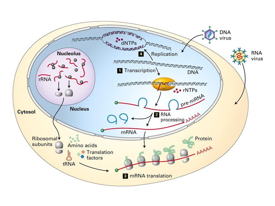 Typical Gene Structure PromoterCoding Region transcription +1