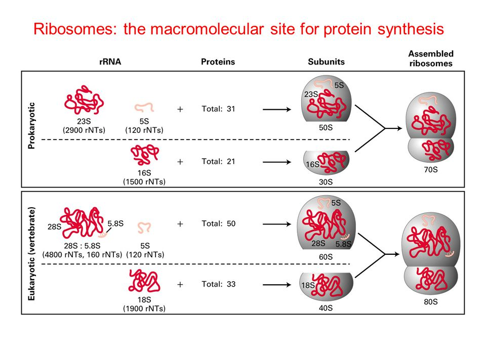 Ribosomes: the macromolecular site for protein synthesis
