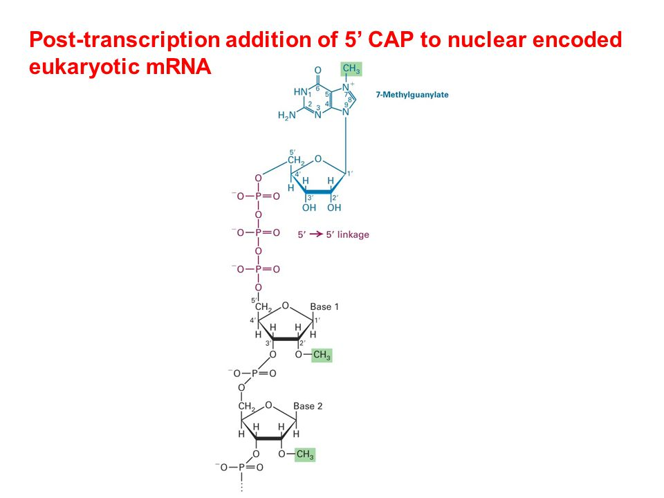 Post-transcription addition of 5' CAP to nuclear encoded eukaryotic mRNA