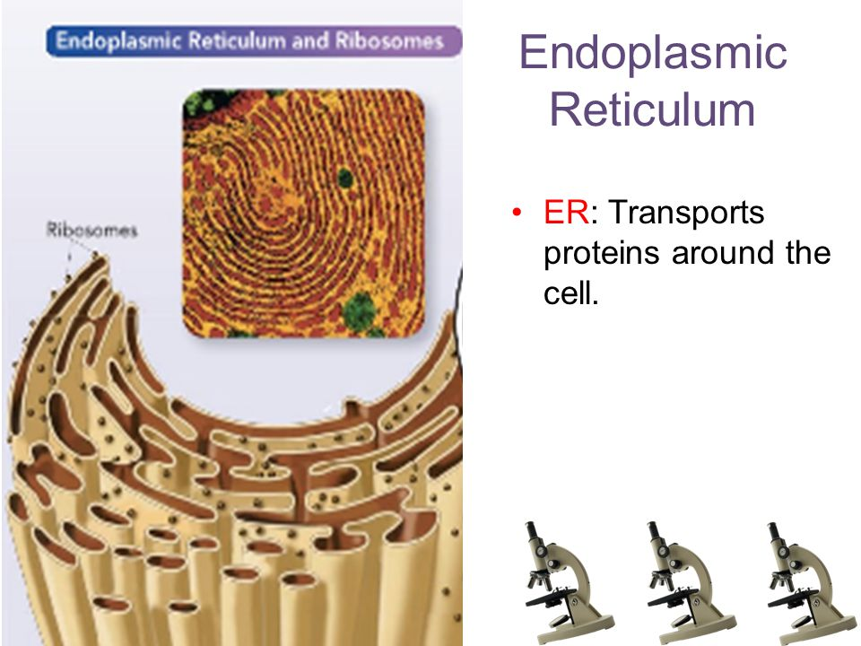 Endoplasmic Reticulum ER: Transports proteins around the cell.