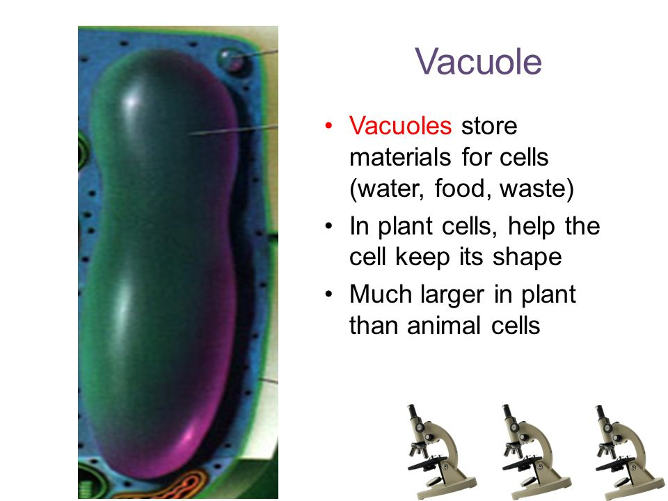 Vacuole Vacuoles store materials for cells (water, food, waste) In plant cells, help the cell keep its shape Much larger in plant than animal cells