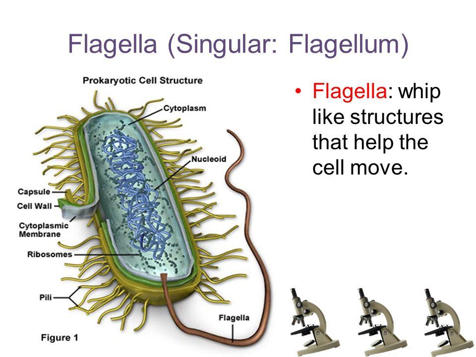 Flagella (Singular: Flagellum) Flagella: whip like structures that help the cell move.