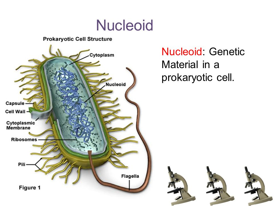 Nucleoid Nucleoid: Genetic Material in a prokaryotic cell.
