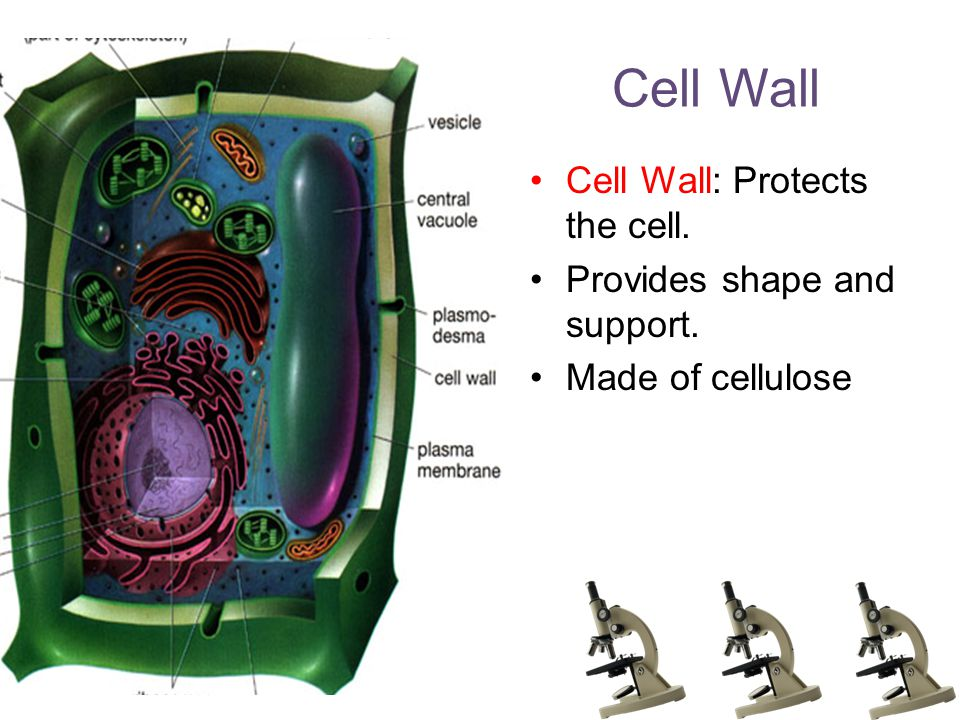 Cell Wall Cell Wall: Protects the cell. Provides shape and support. Made of cellulose