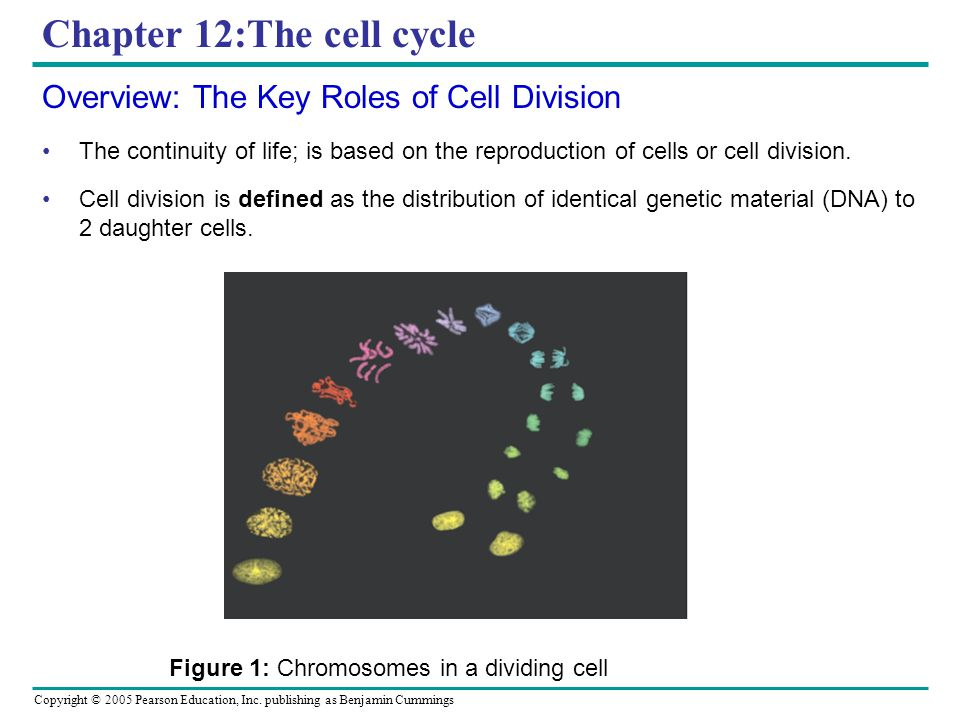 Copyright © 2005 Pearson Education, Inc. publishing as Benjamin Cummings Chapter 12:The cell cycle Overview: The Key Roles of Cell Division The contin
