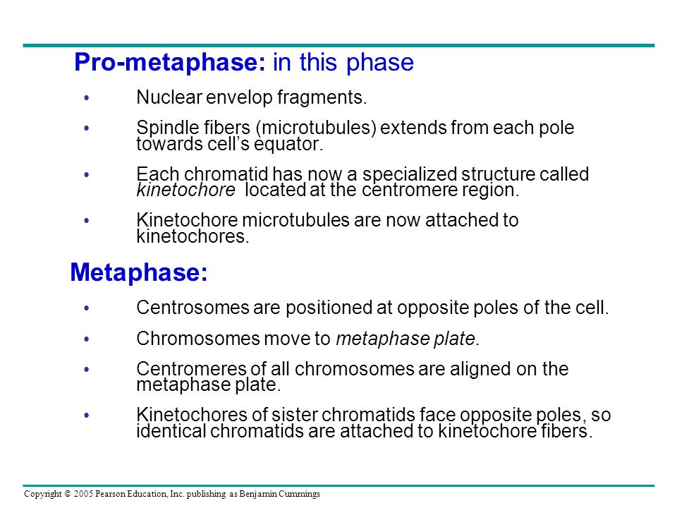 Copyright © 2005 Pearson Education, Inc. publishing as Benjamin Cummings Pro-metaphase: in this phase Nuclear envelop fragments. Spindle fibers (micro