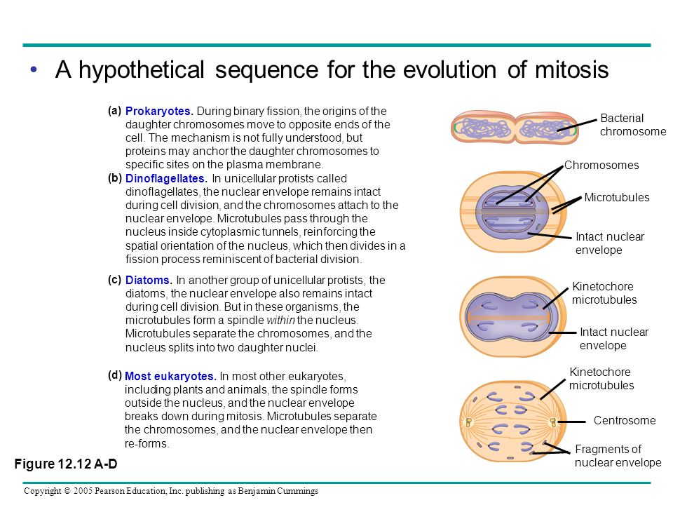Copyright © 2005 Pearson Education, Inc. publishing as Benjamin Cummings A hypothetical sequence for the evolution of mitosis Most eukaryotes. In most