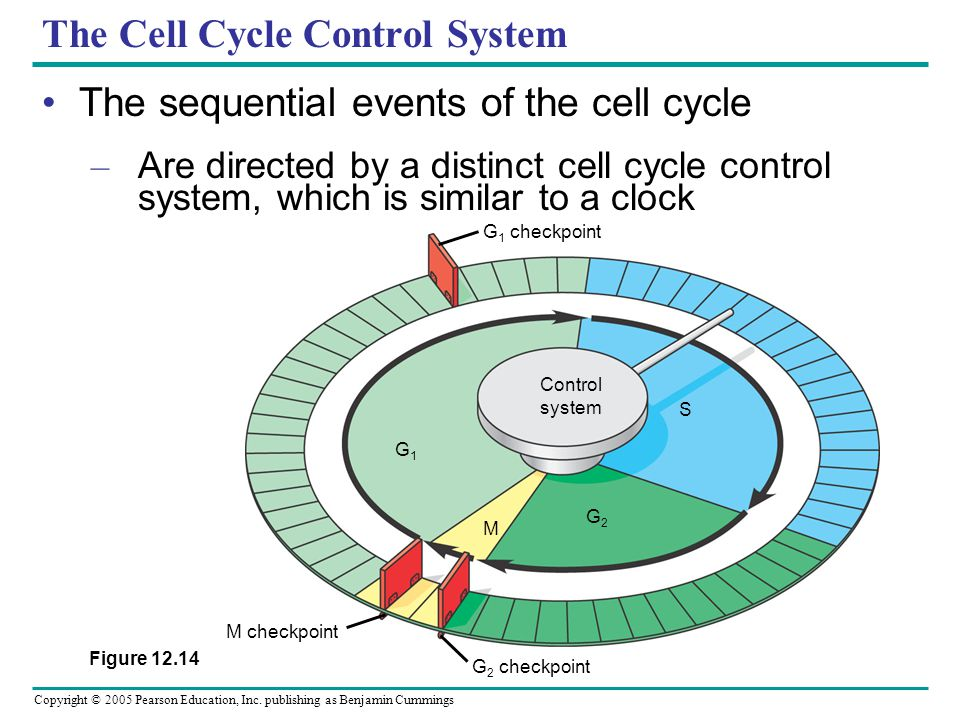 Copyright © 2005 Pearson Education, Inc. publishing as Benjamin Cummings The Cell Cycle Control System The sequential events of the cell cycle – Are d