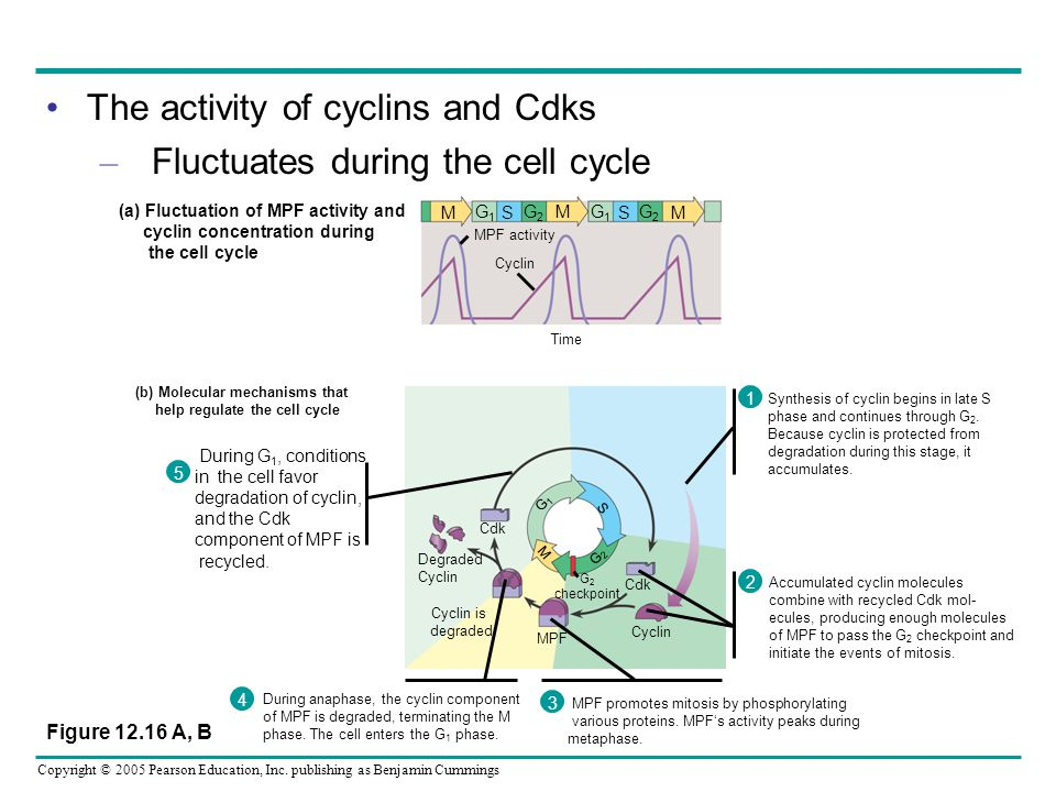 Copyright © 2005 Pearson Education, Inc. publishing as Benjamin Cummings The activity of cyclins and Cdks – Fluctuates during the cell cycle During G