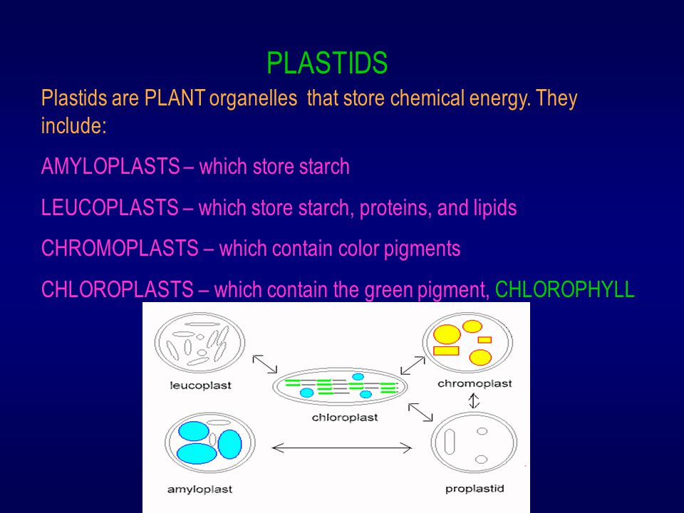 PLASTIDS Plastids are PLANT organelles that store chemical energy. They include: AMYLOPLASTS – which store starch LEUCOPLASTS – which store starch, pr