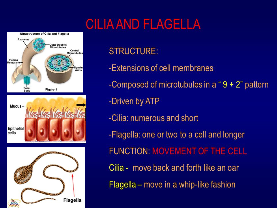 """CILIA AND FLAGELLA STRUCTURE: -Extensions of cell membranes -Composed of microtubules in a """" 9 + 2"""" pattern -Driven by ATP -Cilia: numerous and short"""