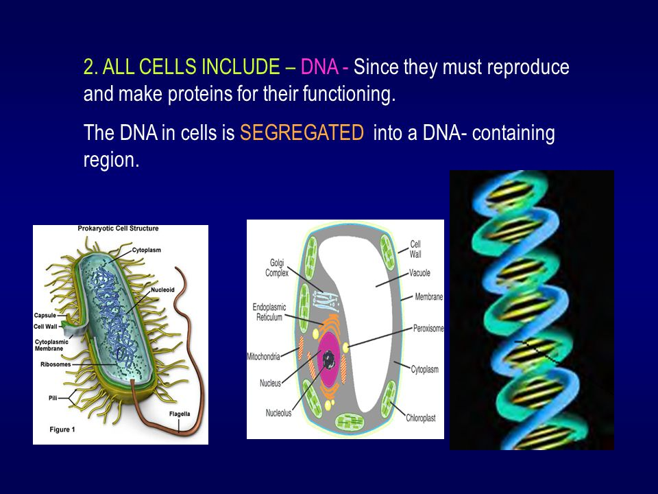 2. ALL CELLS INCLUDE – DNA - Since they must reproduce and make proteins for their functioning. The DNA in cells is SEGREGATED into a DNA- containing