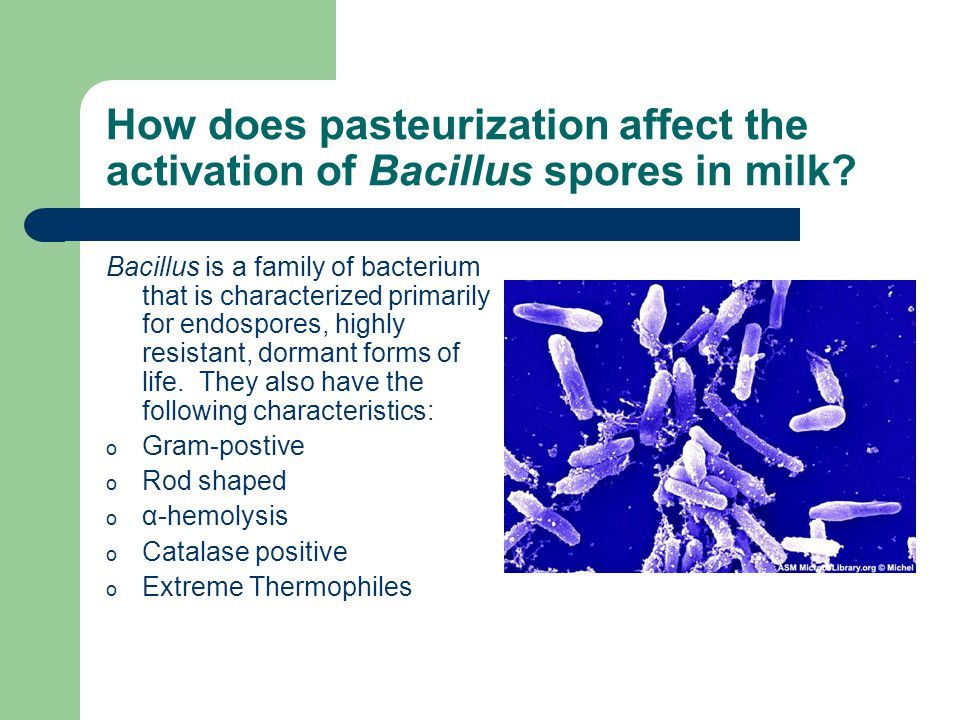 How does pasteurization affect the activation of Bacillus spores in milk.