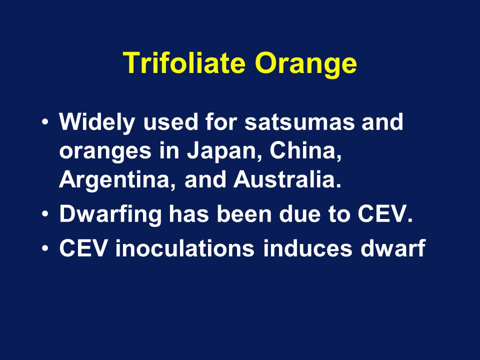 Trifoliate Orange Widely used for satsumas and oranges in Japan, China, Argentina, and Australia.
