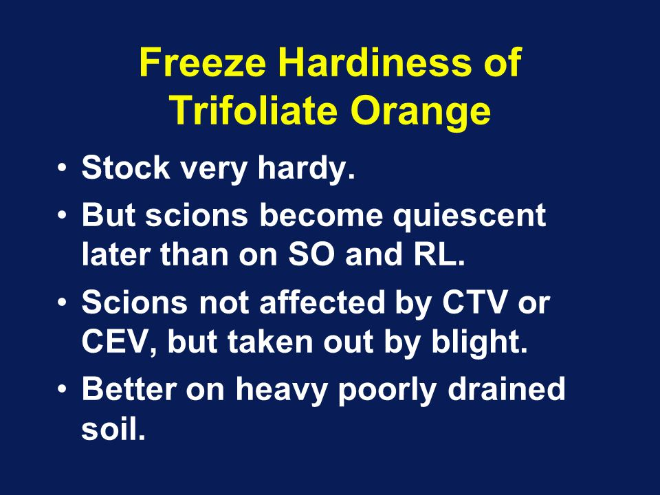 Freeze Hardiness of Trifoliate Orange Stock very hardy. But scions become quiescent later than on SO and RL. Scions not affected by CTV or CEV, but ta