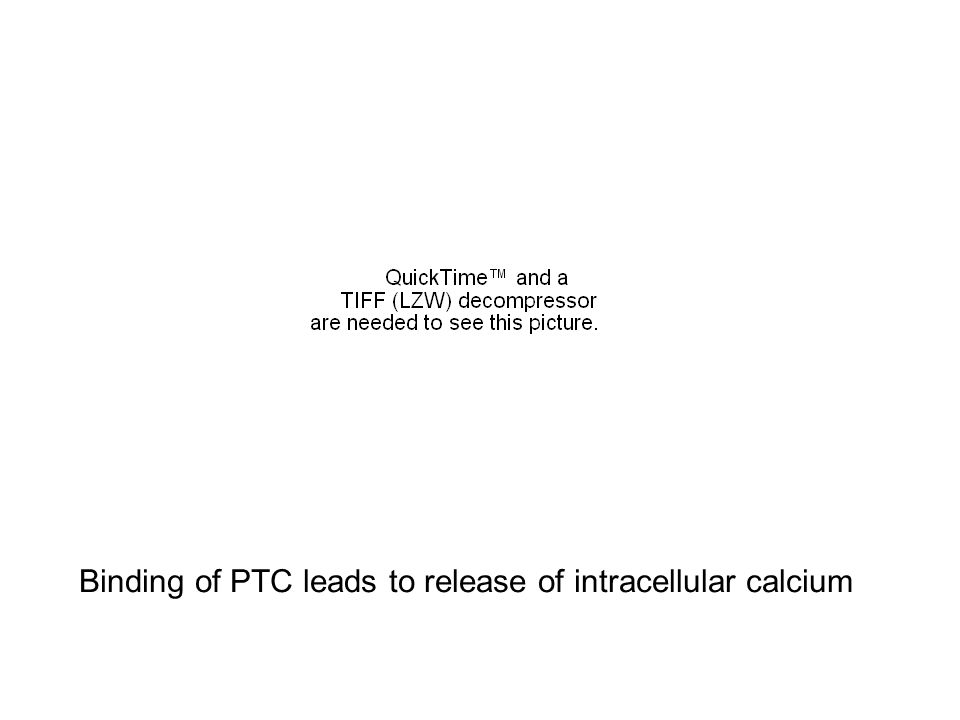 Binding of PTC leads to release of intracellular calcium