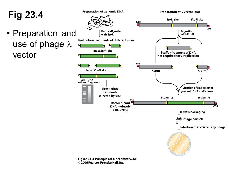 Fig 23.4 Preparation and use of phage vector