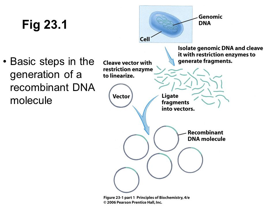 23.8 Expression of Proteins Using Recombinant DNA Technology Cloned or amplified DNA can be purified and sequenced or used to produce RNA and protein Such DNA can also be introduced into organisms to change their phenotype Purification of proteins begins with overproduction of the protein in a cell containing the expression vector