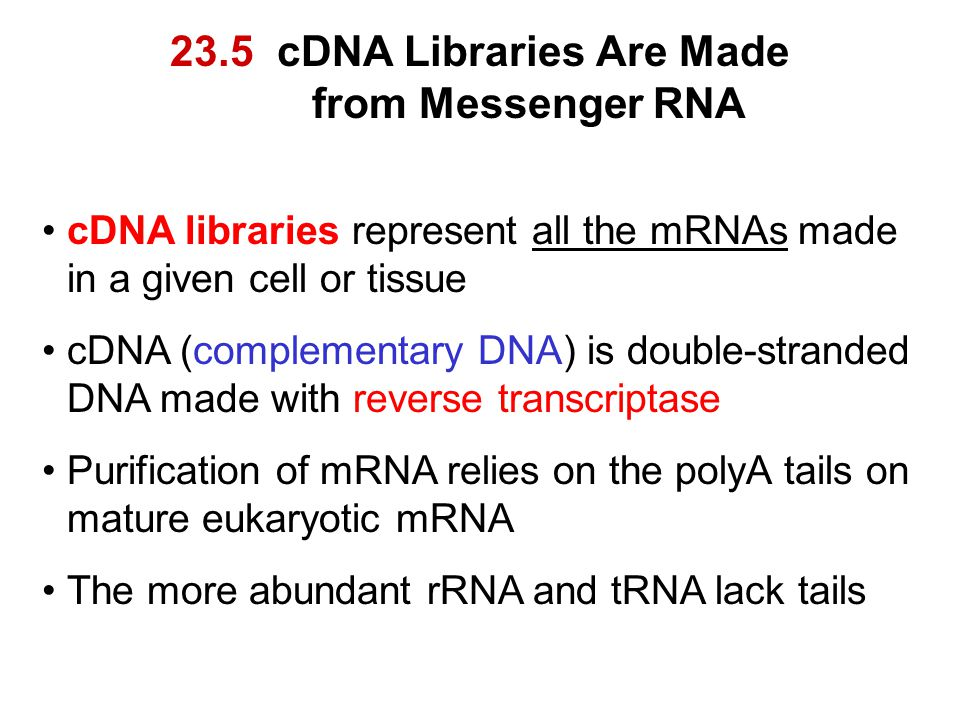 23.5 cDNA Libraries Are Made from Messenger RNA cDNA libraries represent all the mRNAs made in a given cell or tissue cDNA (complementary DNA) is doub