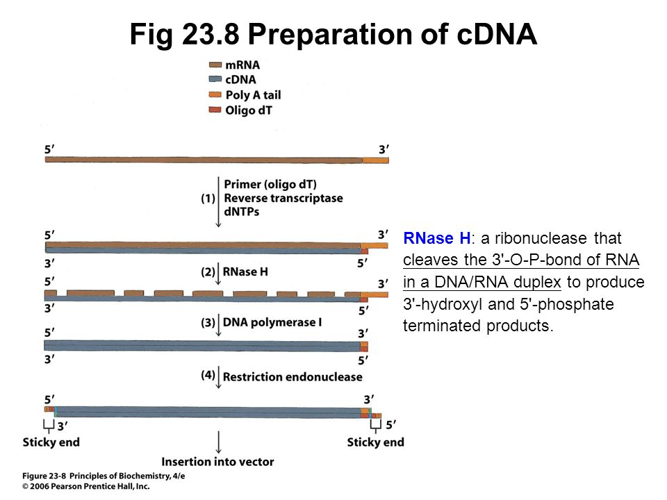 Fig 23.8 Preparation of cDNA RNase H: a ribonuclease that cleaves the 3'-O-P-bond of RNA in a DNA/RNA duplex to produce 3'-hydroxyl and 5'-phosphate t