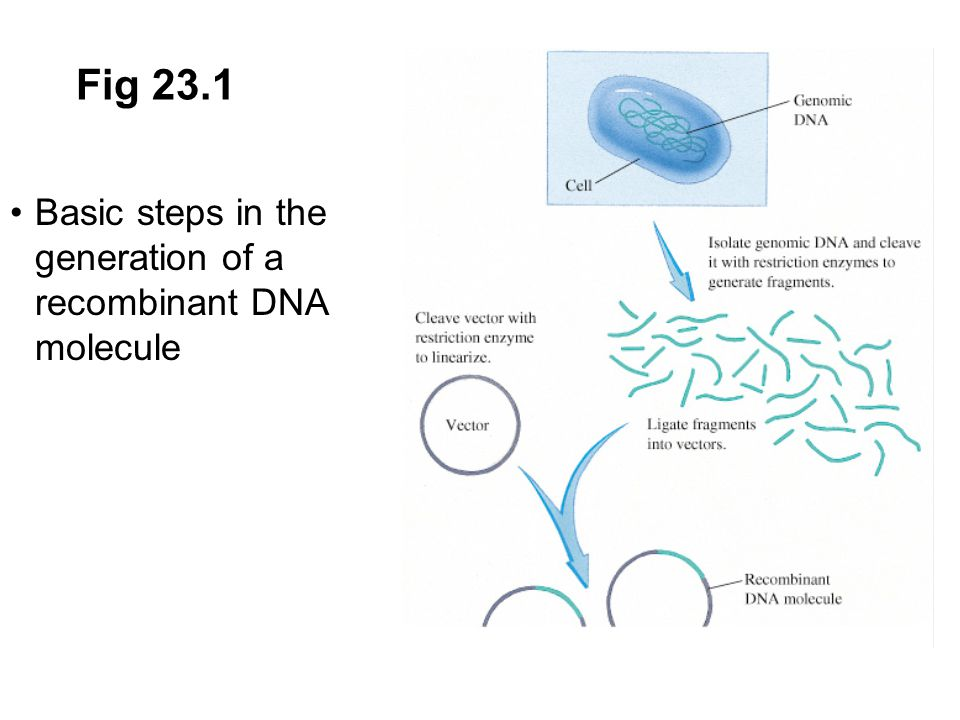 23.9 Applications of Recombinant DNA Technology Somatic changes in tissues are not passed on to subsequent generations Genome changes - germ cells are altered so that changes are passed to descendents Agricultural genetic engineering: to produce increased yield, resistance to insects, disease or frost, altered ripening Introduction of nitrogen fixation into plants