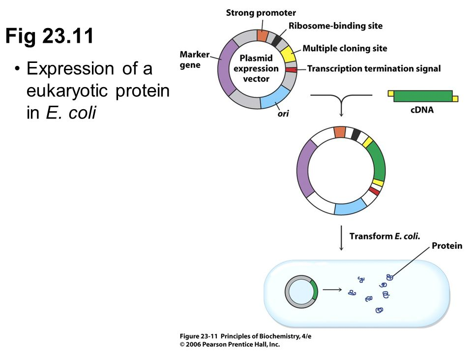 Expression of a eukaryotic protein in E. coli Fig 23.11