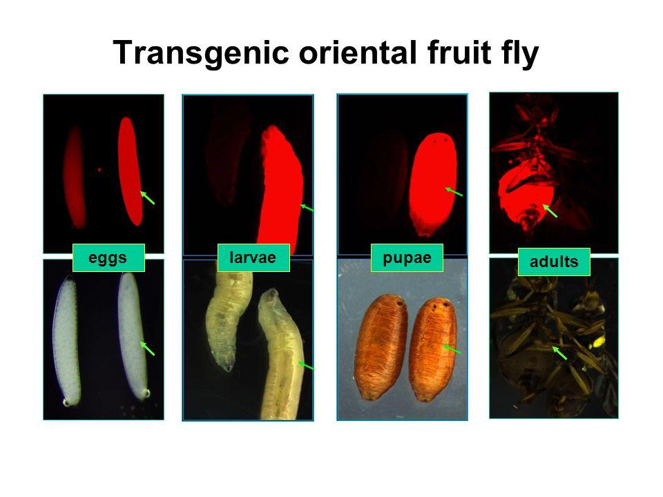 larvaepupae adults eggs Transgenic oriental fruit fly