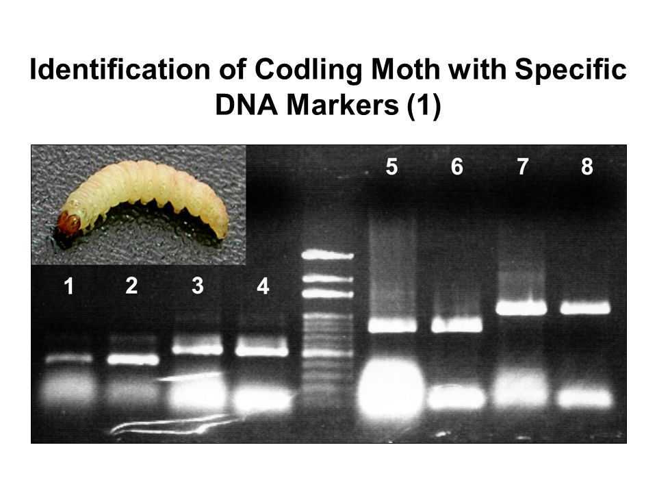 Identification of Codling Moth with Specific DNA Markers (1)