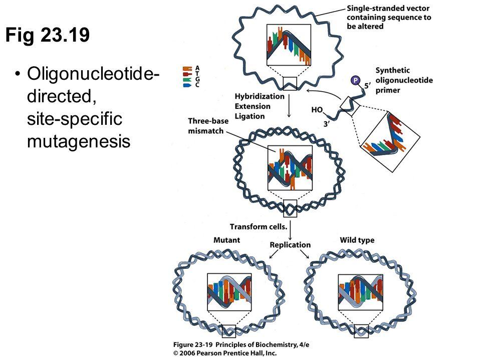 Fig 23.19 Oligonucleotide- directed, site-specific mutagenesis