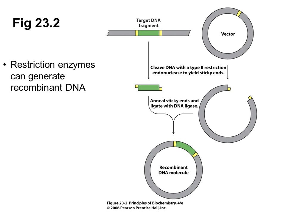 Fig 23.2 Restriction enzymes can generate recombinant DNA