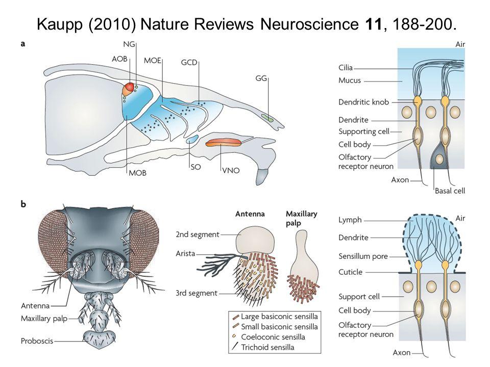 Kaupp (2010) Nature Reviews Neuroscience 11, 188-200.