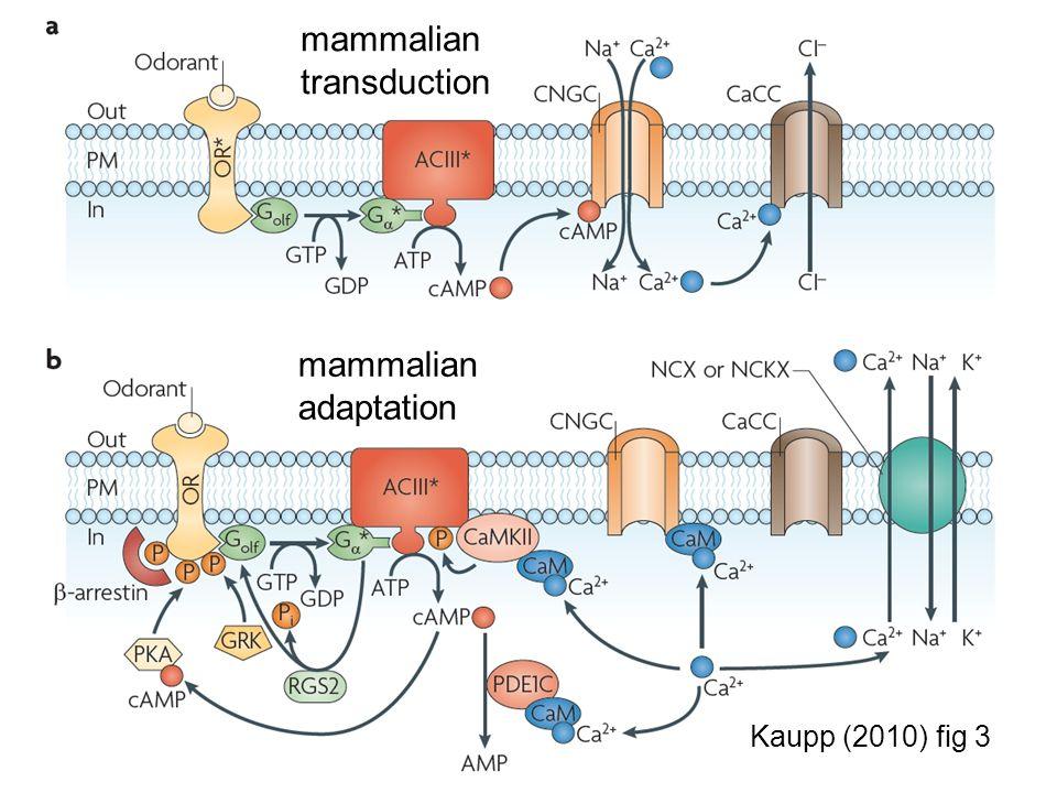 mammalian transduction mammalian adaptation Kaupp (2010) fig 3
