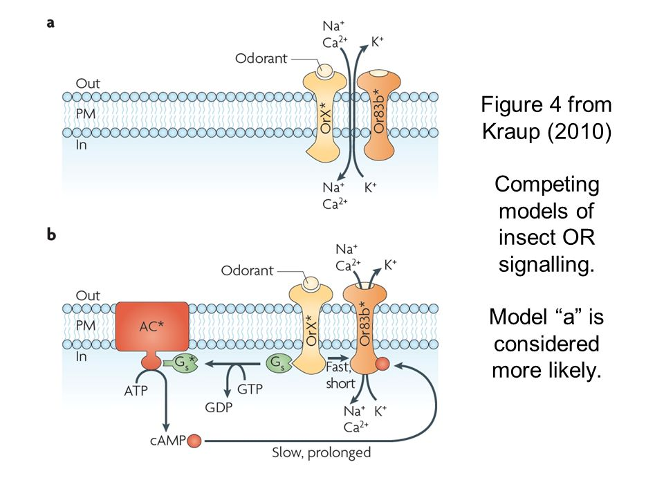 Figure 4 from Kraup (2010) Competing models of insect OR signalling.