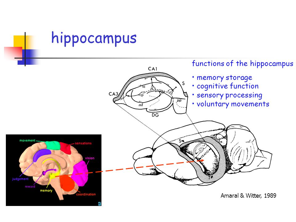 Amaral & Witter, 1989 functions of the hippocampus memory storage cognitive function sensory processing voluntary movements hippocampus