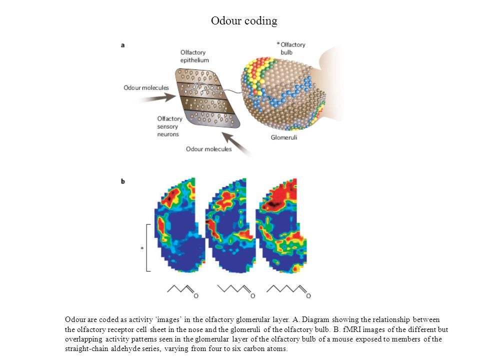 Odour coding Odour are coded as activity 'images' in the olfactory glomerular layer.